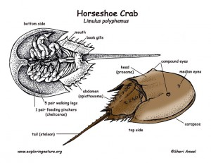 horseshoe_crab_diagram72_color